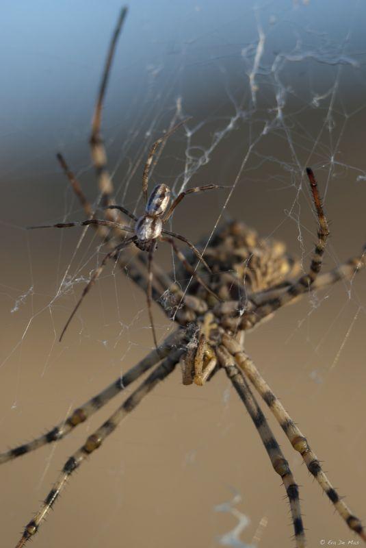 """Museu de les Terres de l´Ebre : agenda : Conferència """"Devora-mascles i transvestits. La vida sexual secreta d'aranyes i insectes"""""""
