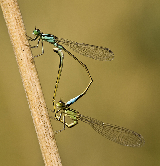 "Projecte ""Ancient responses to new challenges: ecology and evolution of the Odonata"""