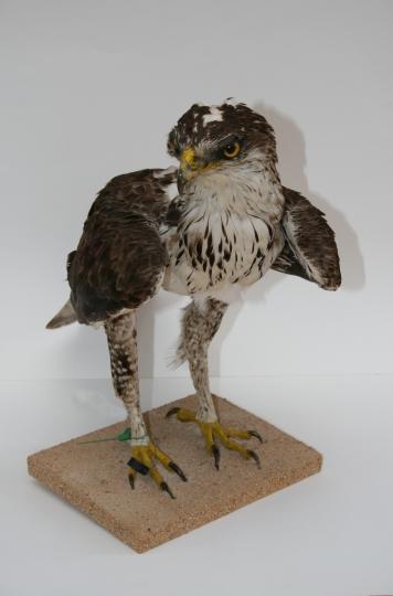 Museu de les Terres de l´Ebre :  : Àliga perdiguera (Aquila fasciata)