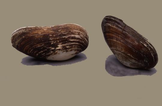 Museu de les Terres de l´Ebre :  : Nàiades (Margaritifera auricularia)