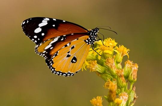 Museu de les Terres de l´Ebre :  : Papallona tigre (Danaus chryssipus)
