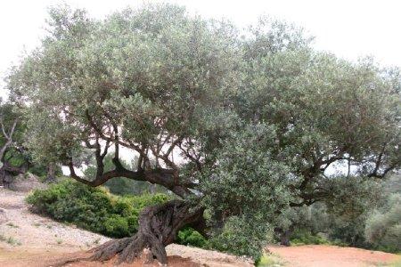 Museu de les Terres de l´Ebre : Serveis turístics : Oliveres i molins centenaris, l'oli mil·lenari
